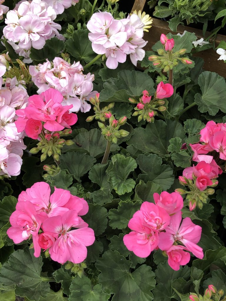 geraniums in the shop