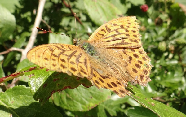Silver-washed fritillary (by Don Stone)