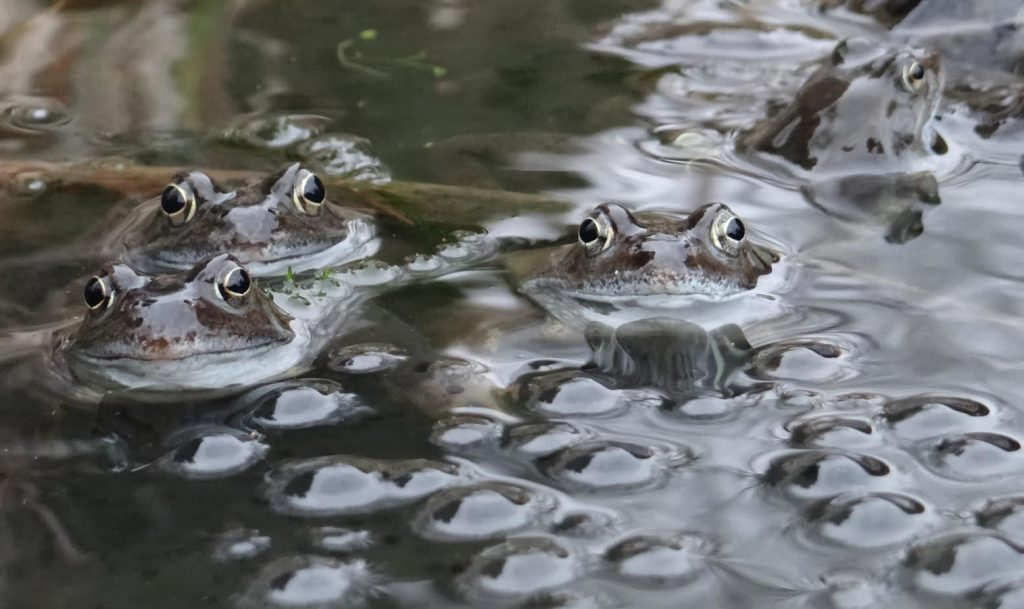 Spawn-producing frogs (by Don Stone)